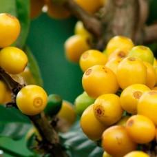 Кофе GM Coffee Бразилия Желтый Бурбон фреш обжарка в зернах 1 кг